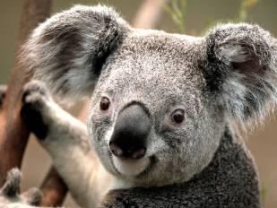 Koala_resized.jpg